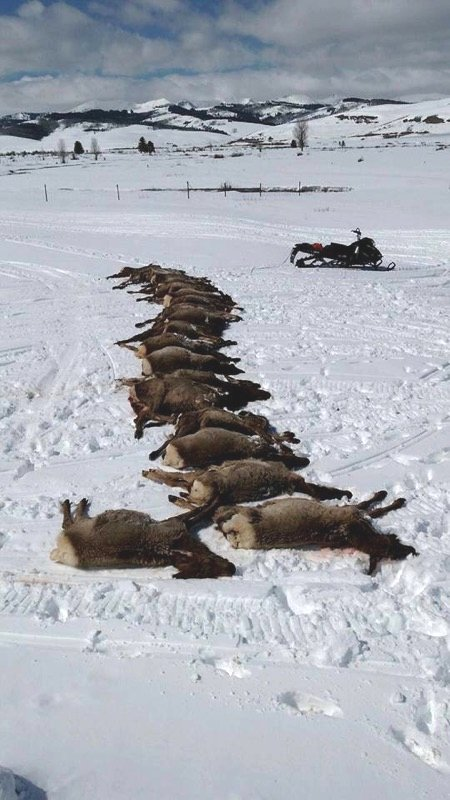 19 elk killed by wolves 23 March 2016